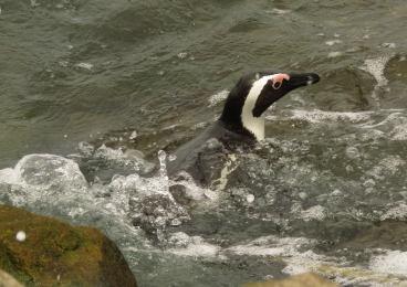Penguins 0101